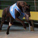 Greyhound_Barcia_Bale-big